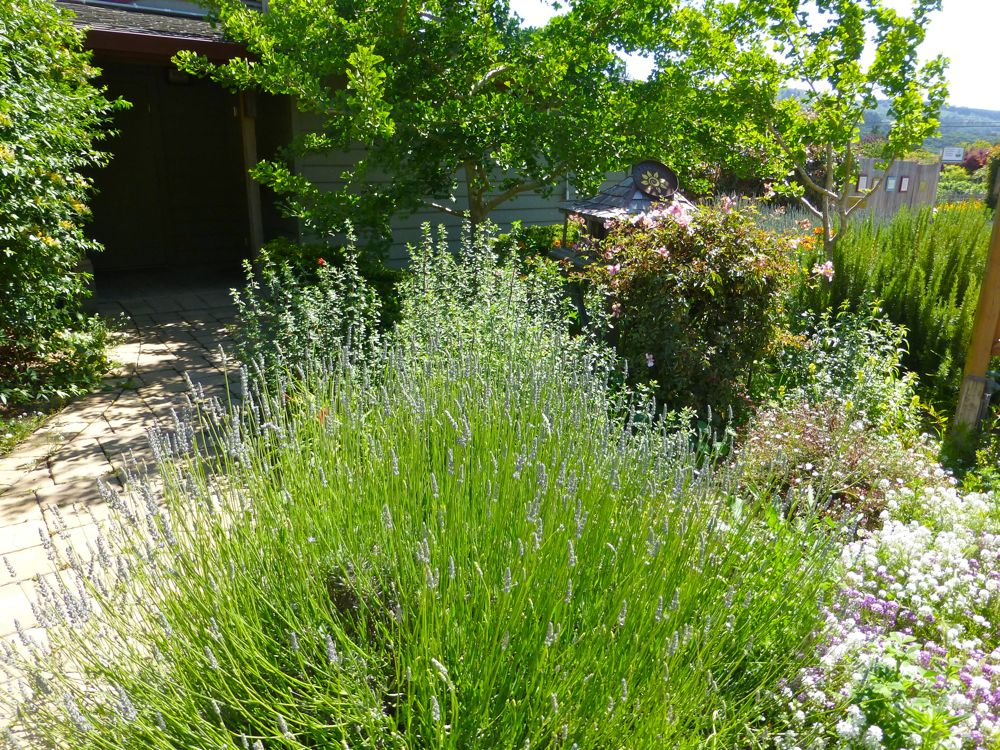 Carmel Valley, California, lavendar about to bloom at Earth Bound Farm