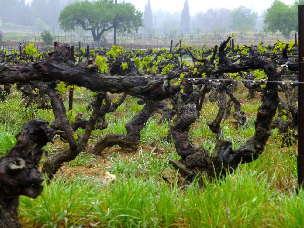 Lourmarin Vines in April rain, Luberon, Provence
