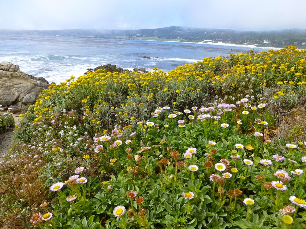 Coastal flowers, Carmel-by-the-Sea, California