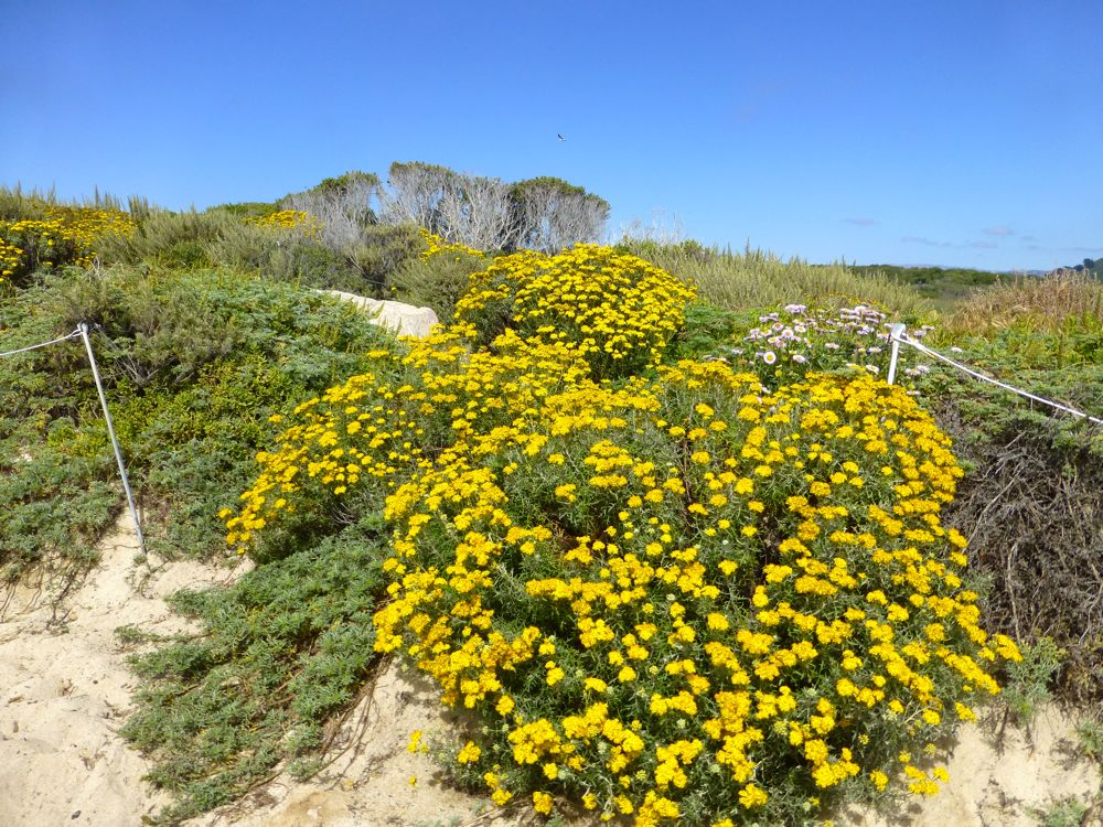 Coastal plants, Carmel-by-the-Sea, California