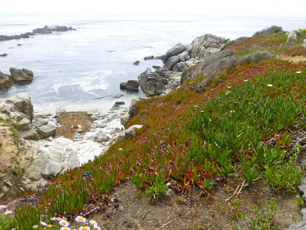 Coastal plants in Carmel-by-the-Sea, California