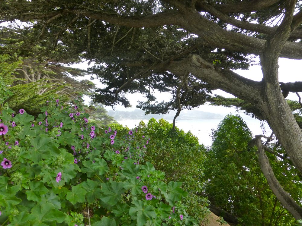 Coastal shrubs, in Carmel-by-the-Sea, California
