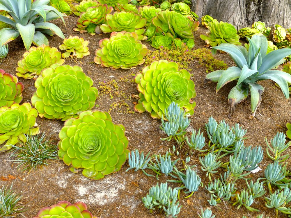 Garden succulents, in Carmel-by-the-Sea, California