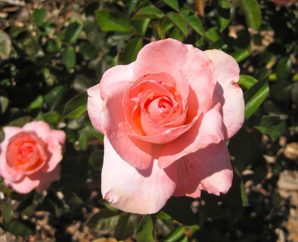 Roses in Napa, California