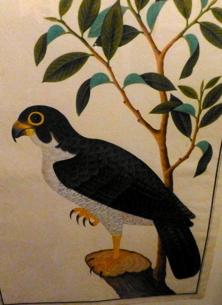Farquhar's naturalist drawings from Melaka 2