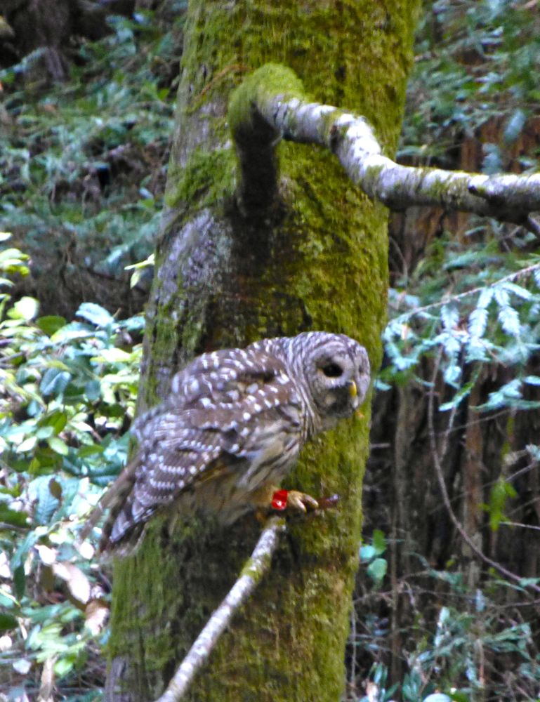 Muir Woods Owl preparing for flight at The Muir Woods, 12 miles north of San Francisco