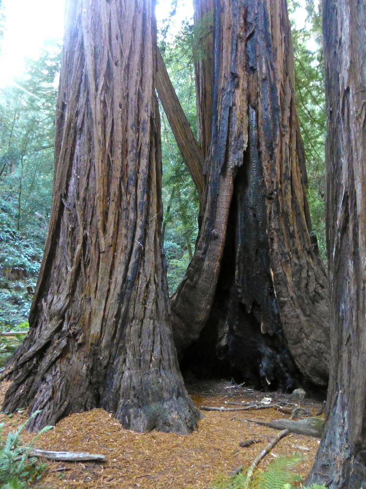 The trunks of the Redwoods at Muir Woods, north of San Francisco, California