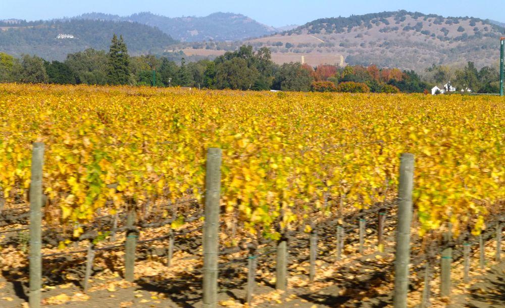 Californian Napa Valley vineyard in November