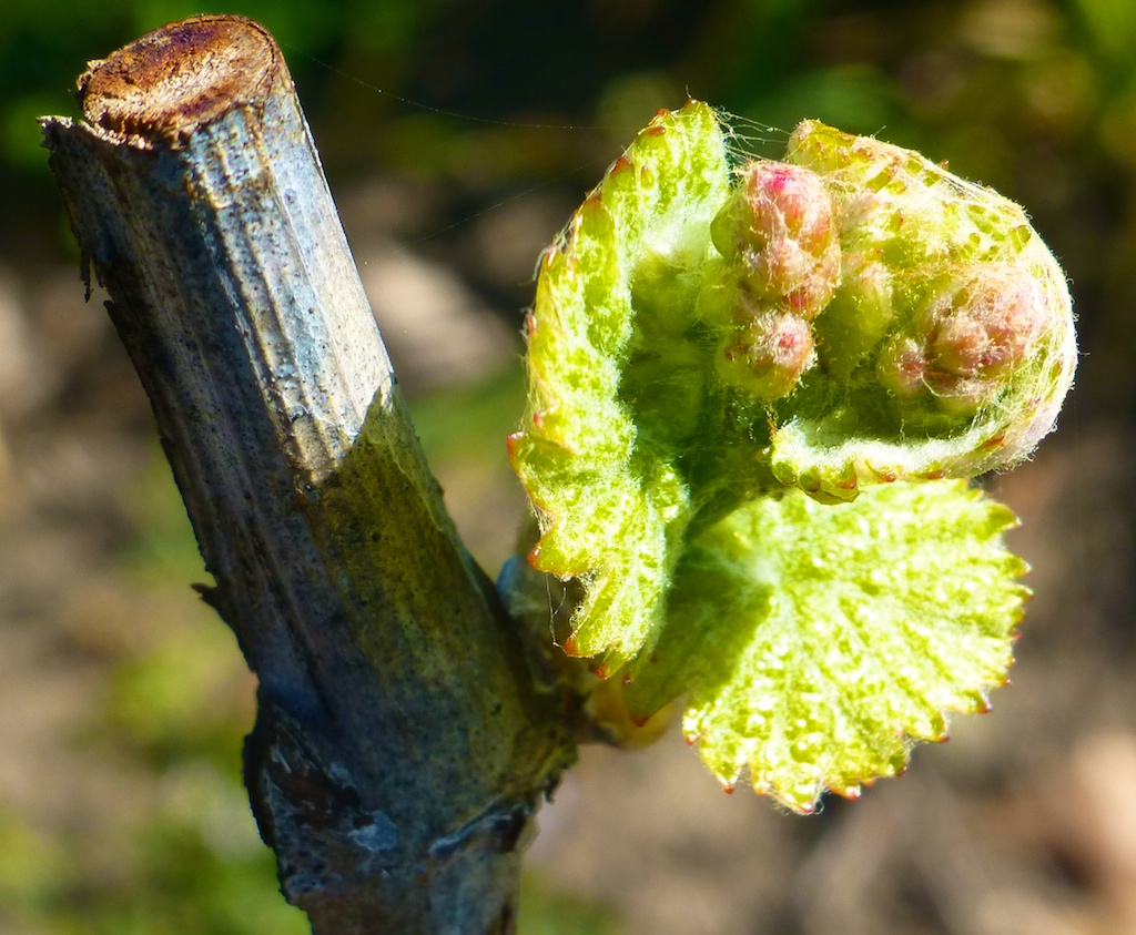 A new bud at Napa's Silver Oak