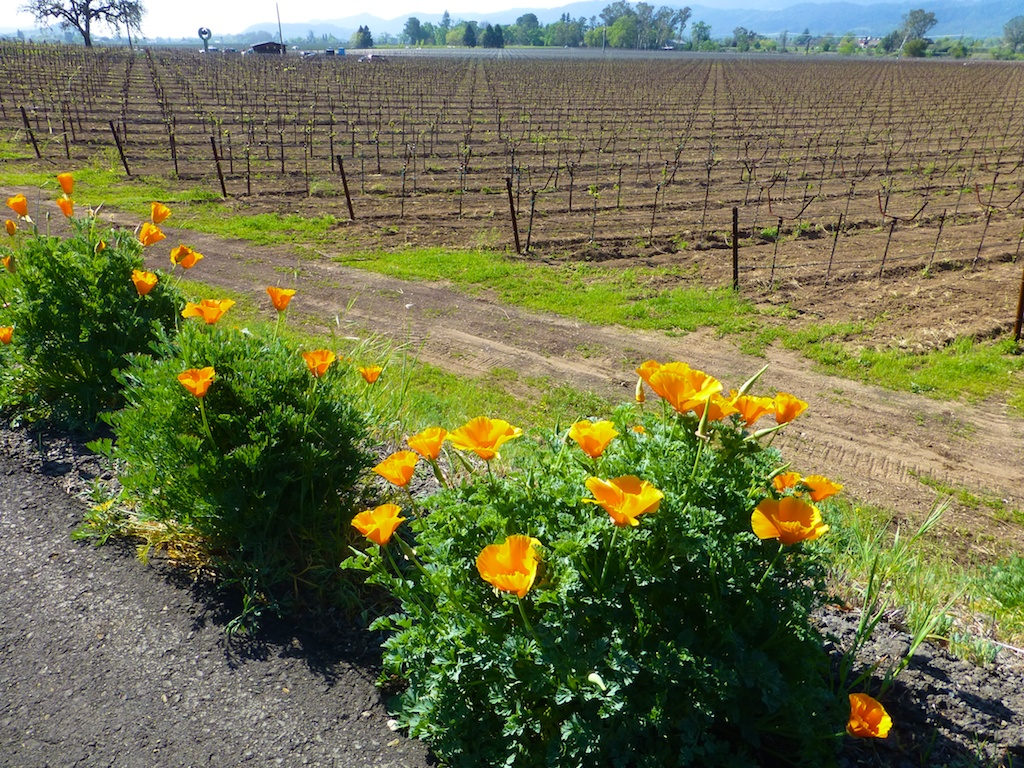 California poppies by Napa Valley vineyards