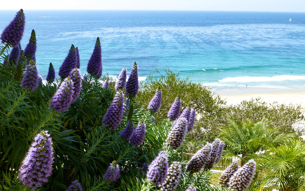 Californian Lupins at Dana Point, California, USA