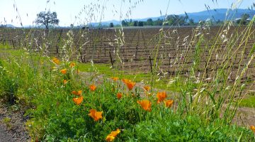 Napa Vineyards & spring California Poppies, Napa Valley, California. USA