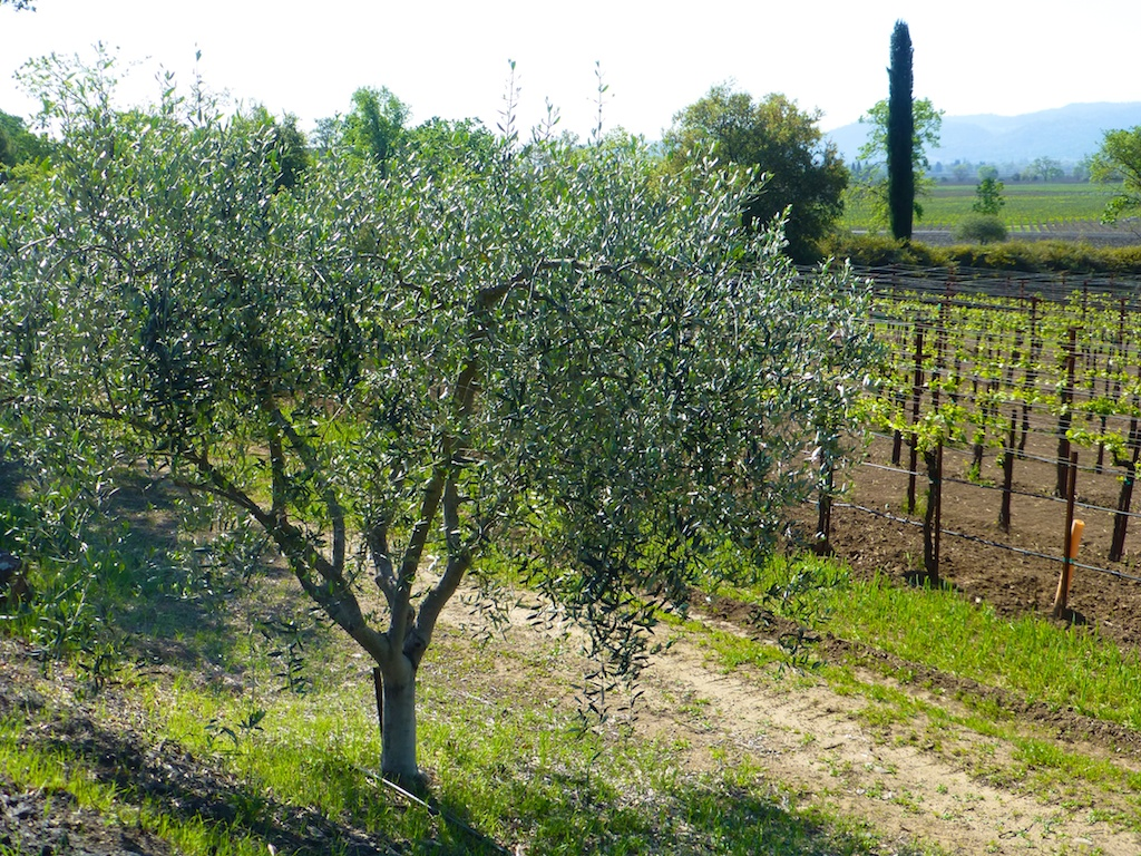 Olive trees beside the Napa vineyards