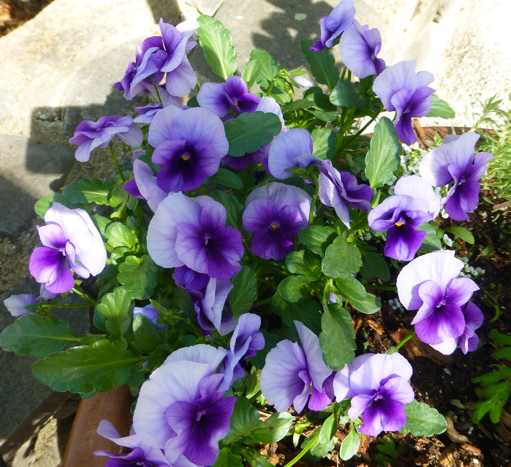 Pansies at Rombauer, winery, Napa Valley