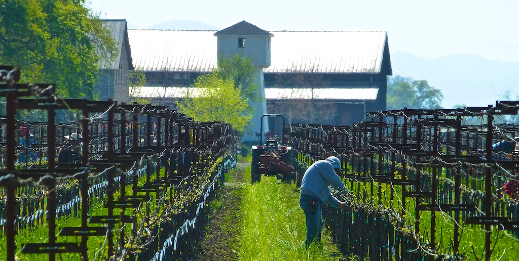 Pruning Napa's Silver Oak vines