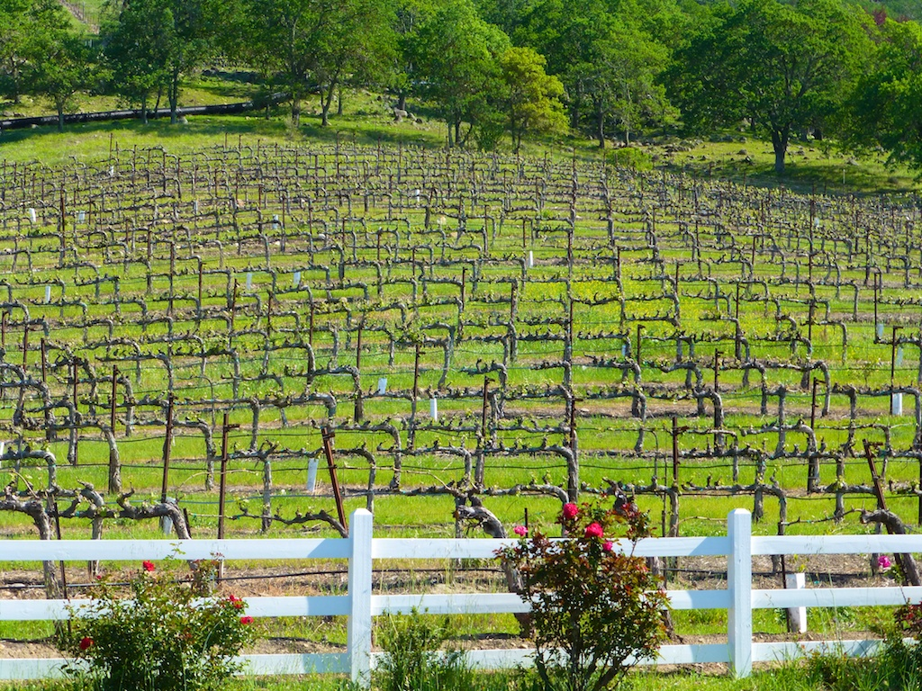 Spring vines in Napa Valley