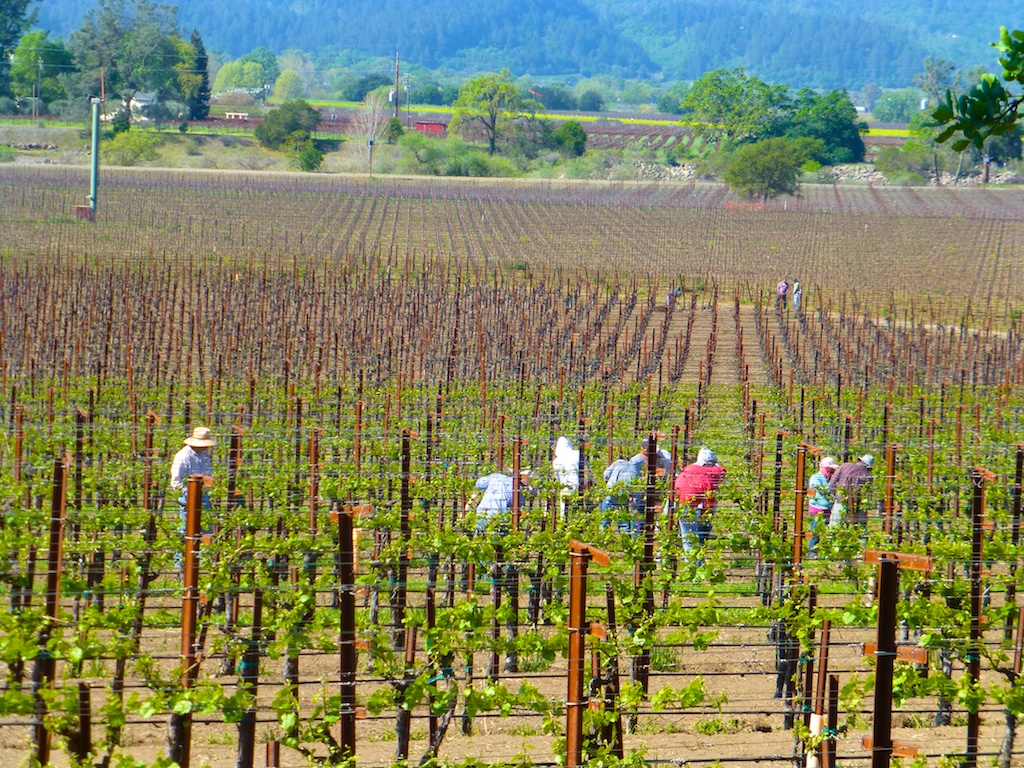 Tending the Napa Valley vines in Spring