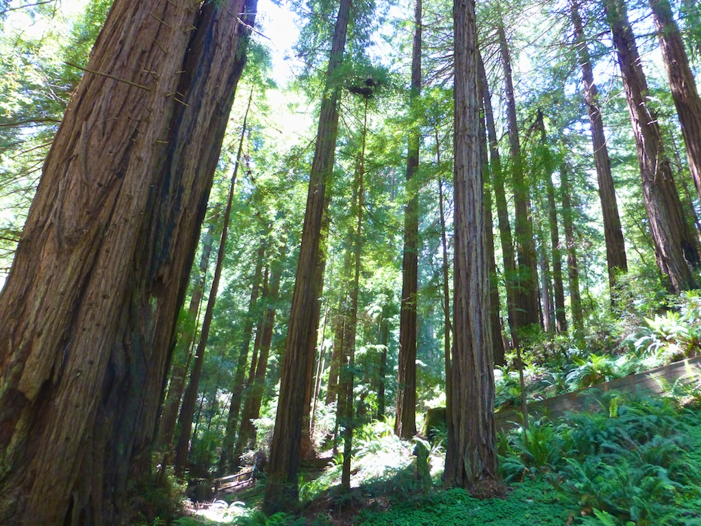 Light through the trees, at Muir Woods, San Francisco