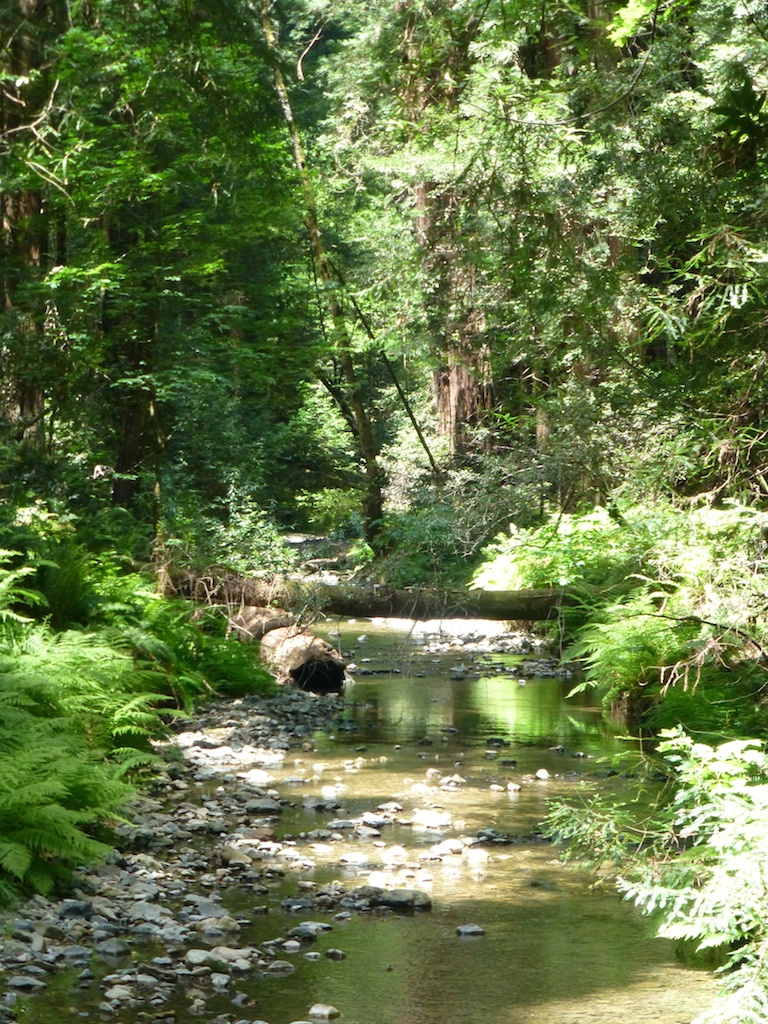 The stream in the woods at Muir Woods, San Francisco