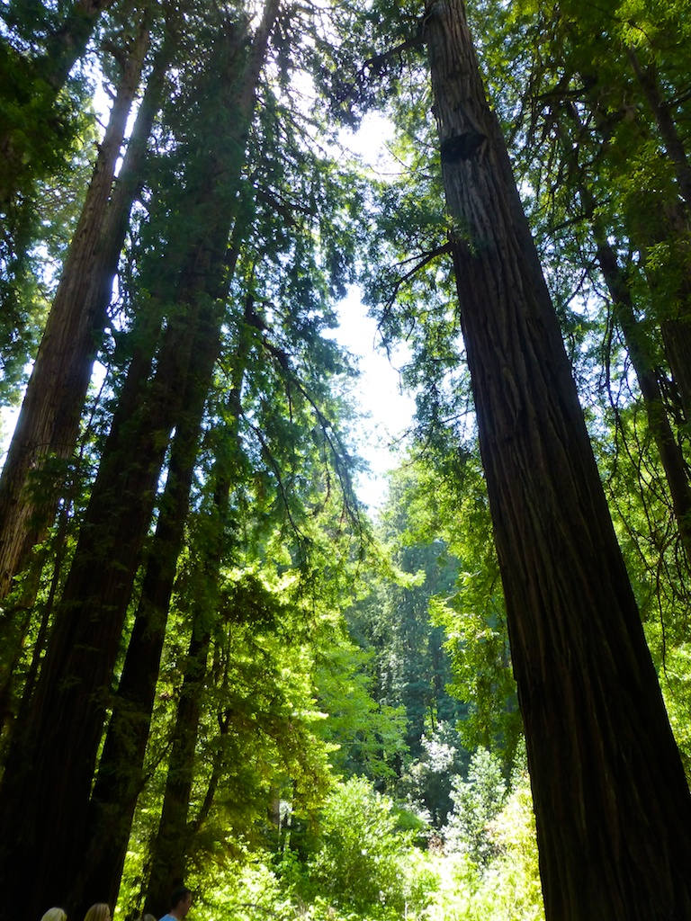 Trees in the woods at Muir Woods, San Francisco