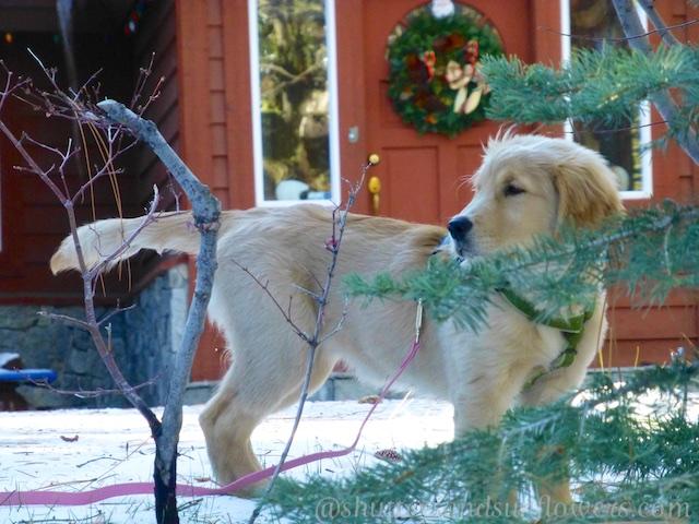 Golden retriever puppy at Lake Tahoe, California