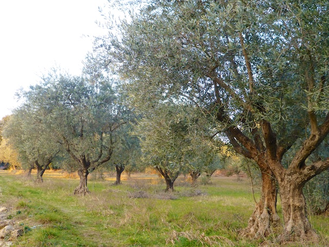 Ancient olive trees Lourmarin in the Luberon, Vaucluse, Provence, France