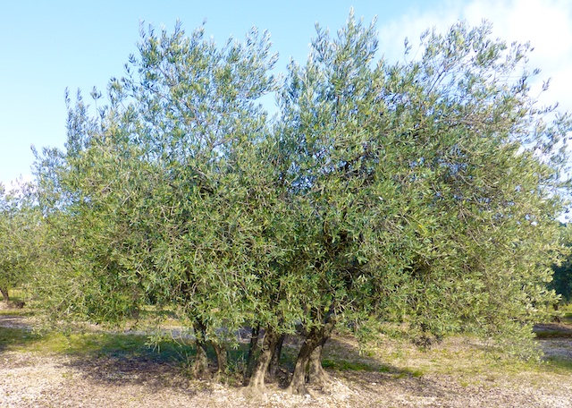 An olive tree Lourmarin in the Luberon, Vaucluse, Provence, France
