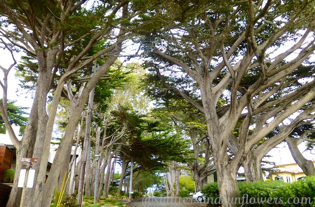 Cypress lined streets of Carmel, California