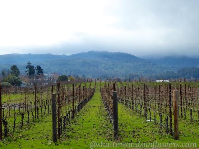 Napa Valley vines near St Helena, California