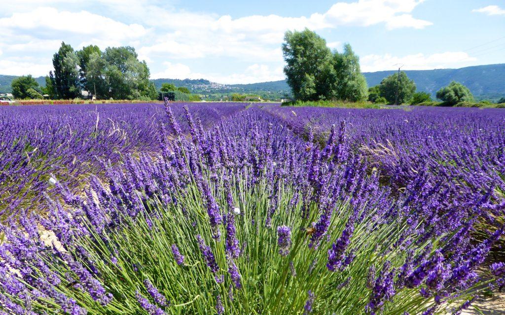 Lourmarin Travel Guide, Luberon lavender fields
