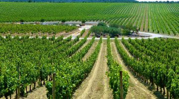 Vineyard near Uzes in Languedoc Roussillon