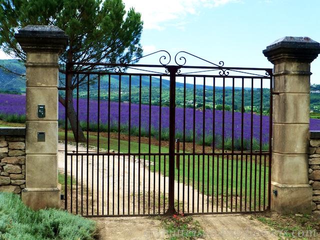 Lavender near Loumarin, Luberon, Vaucluse, Provence