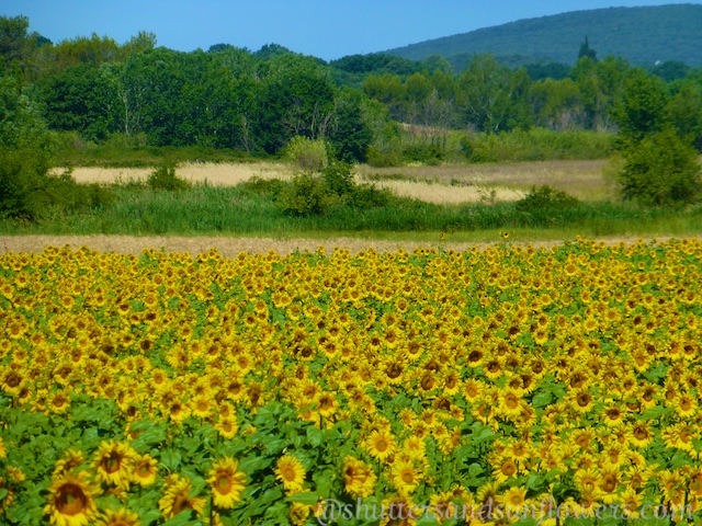 Sunflower fields of Provence