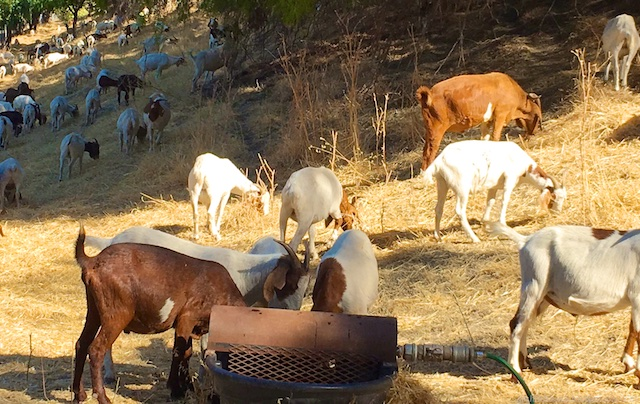 goats grazing in Danville,California