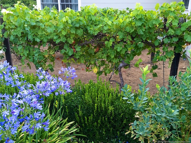 Vines in Alamo, California