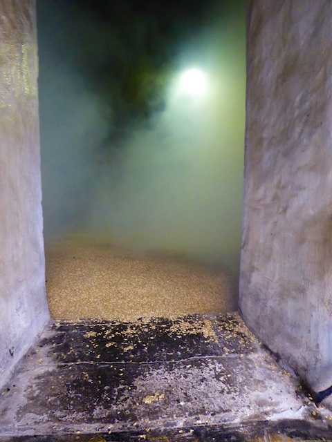 Germinated barley shoveled into the kilns at Laphroaig