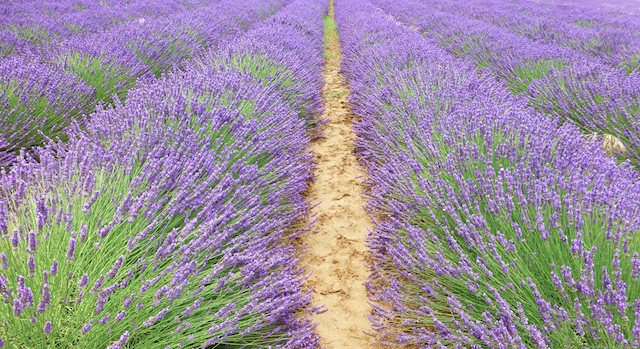 PDF Travel guide Lavender in the Luberon Valley, Provence