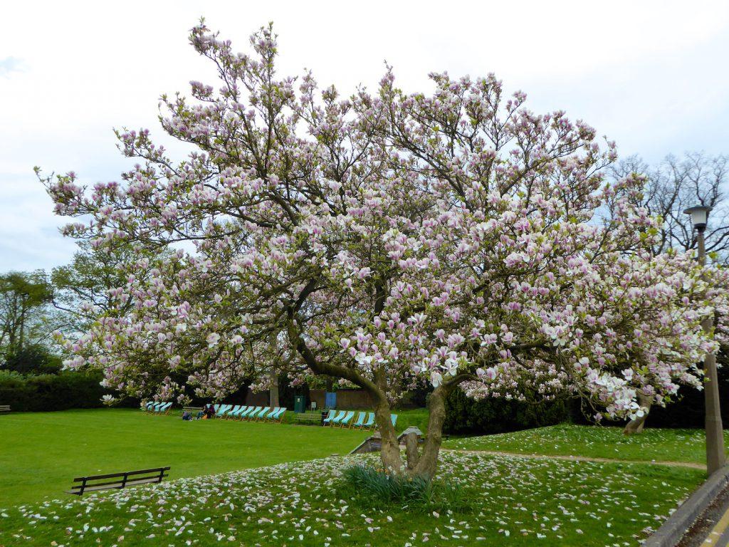 Springtime in England, magnolia blossoms