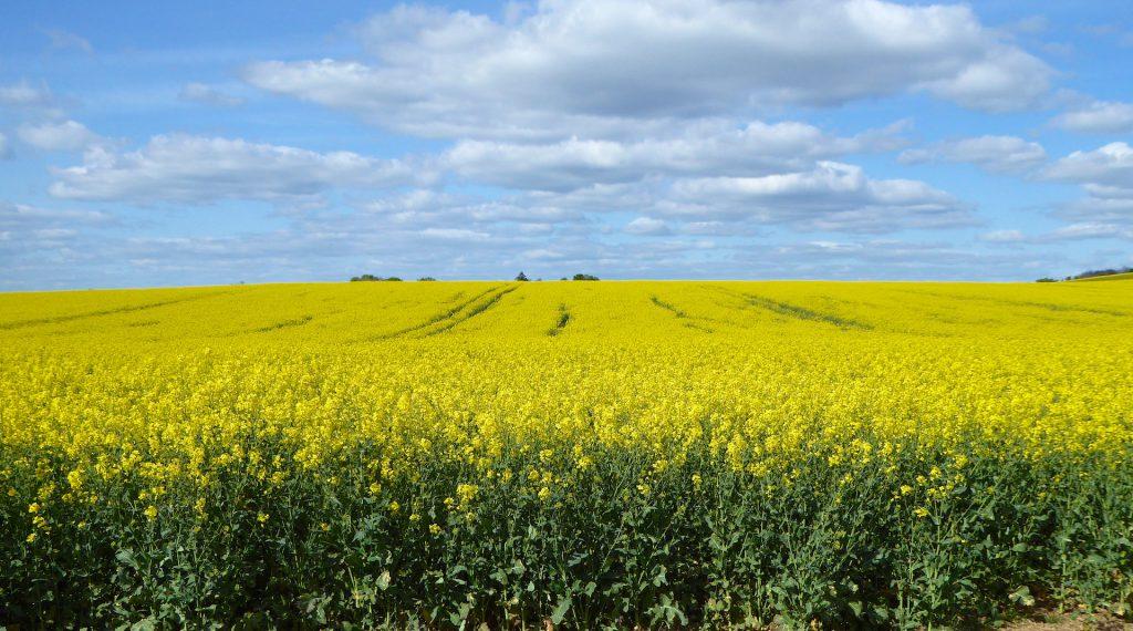Springtime in England fields of rape near Goring, England
