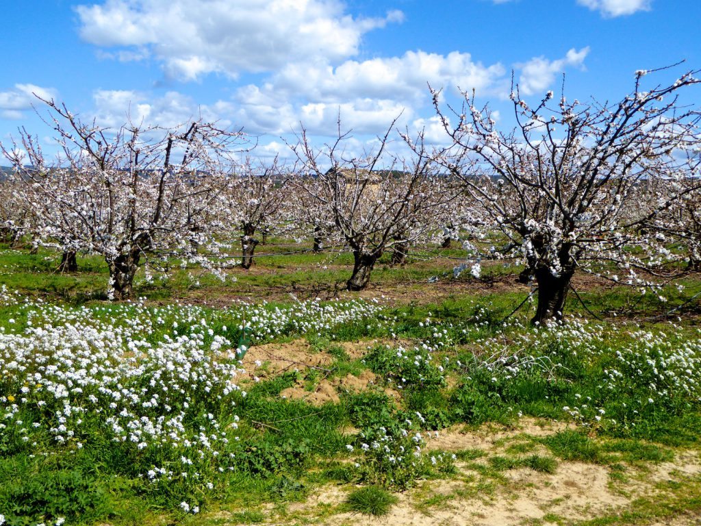 Springtime Cherry blossoms in the Luberon, Vaucluse, Provence, France