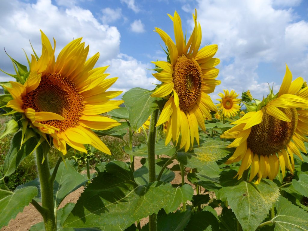 Things I love about Provence, its sunflowers