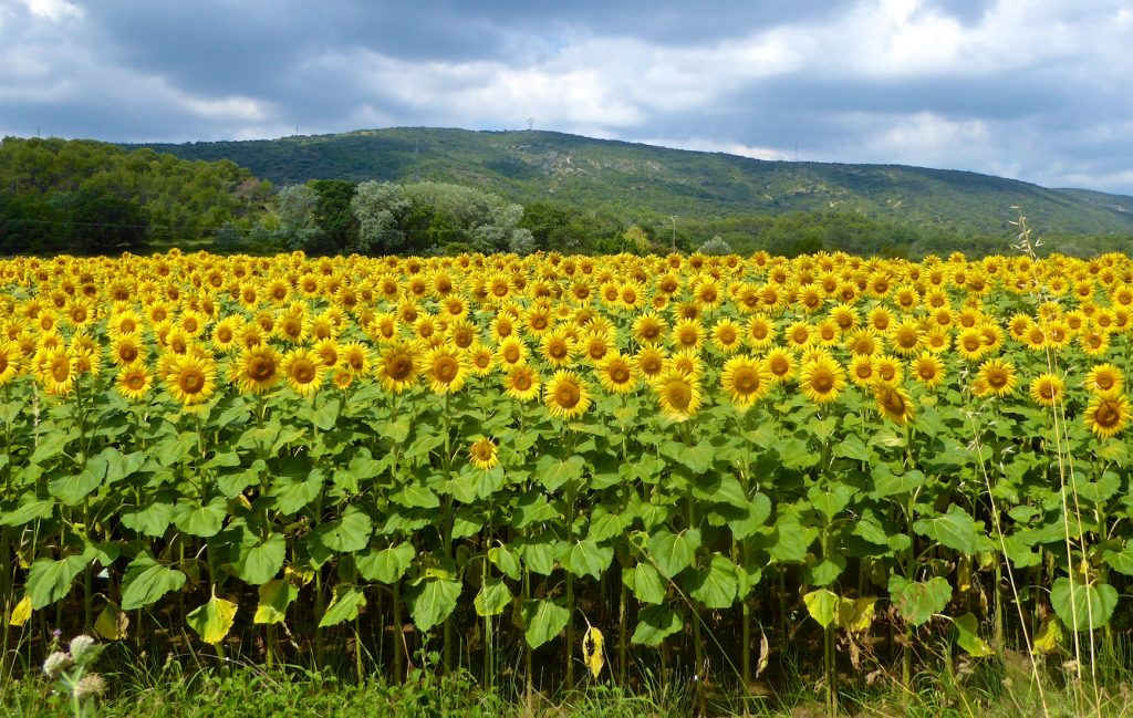Sunflowers fields of Provence near Lourmarin