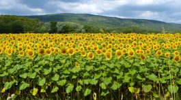 Lourmarin Travel Guide, Sunflower field in Luberon, Provence
