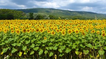 Shutters and Sunflowers, Sunflower field in Provence