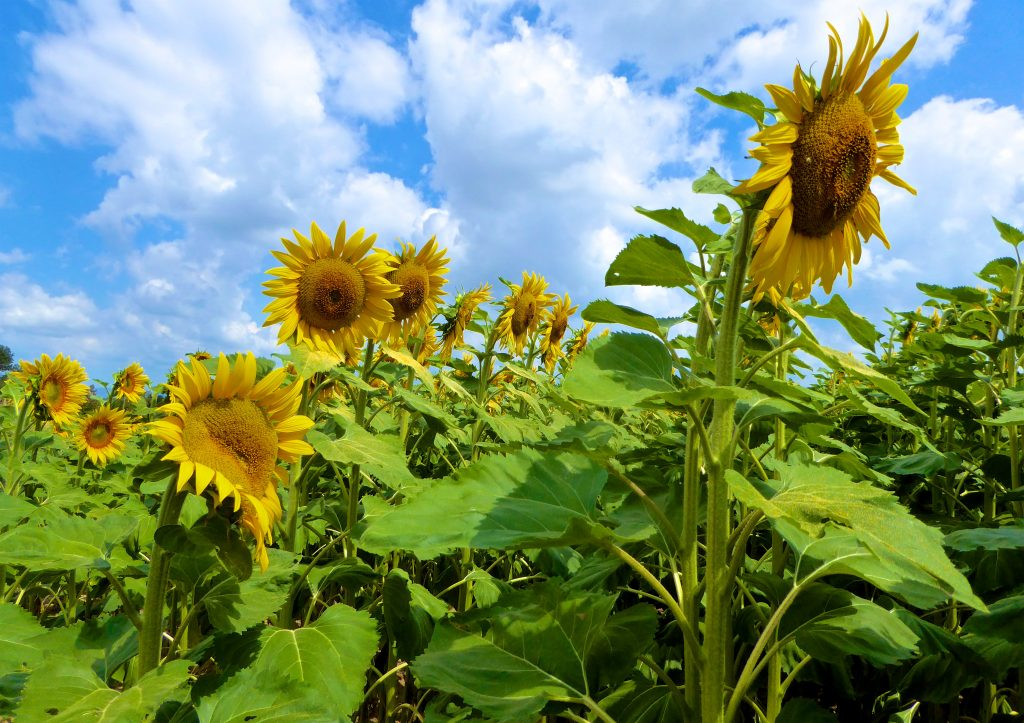 THE SUNFLOWERS OF PROVENCE