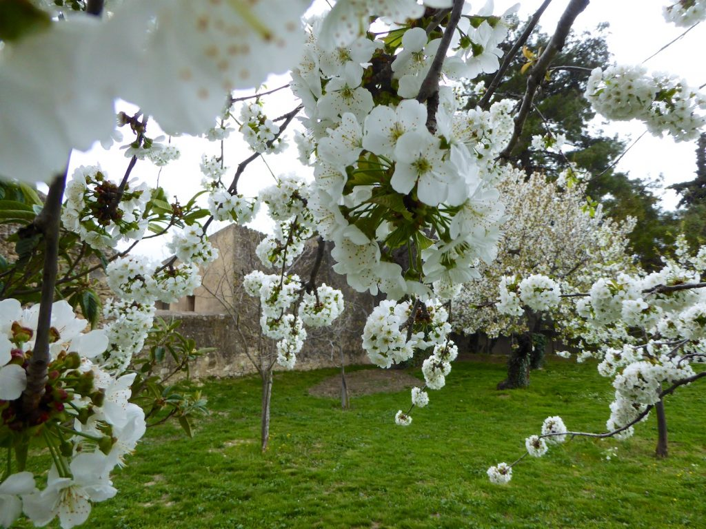 Cherry blossoms in Lourmarin, Luberon, Vaucluse, Provence, France
