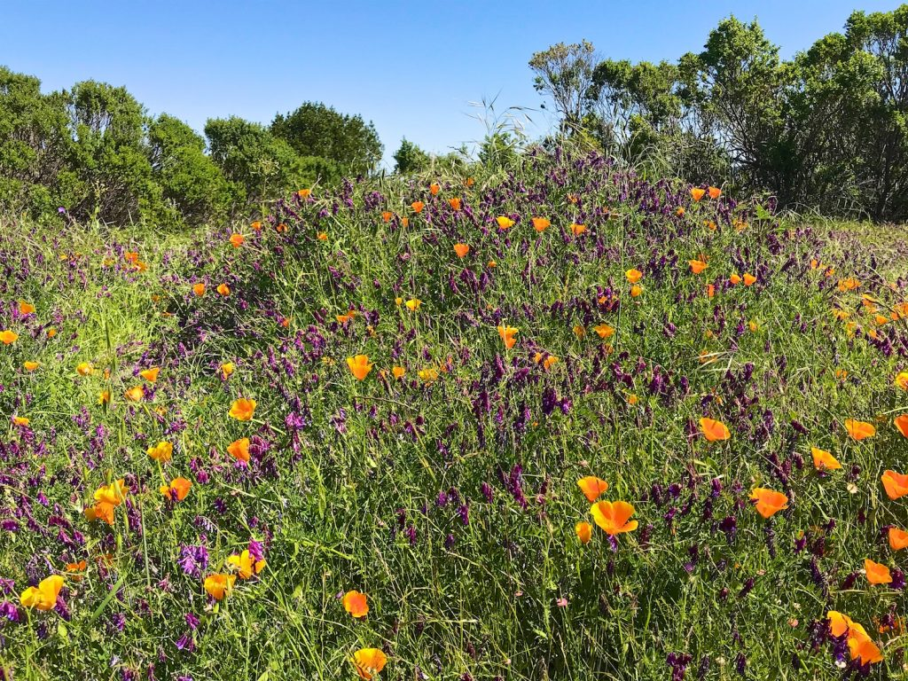 California poppies and wild flowers on the Las Trampas Hills, Danville, California, USA