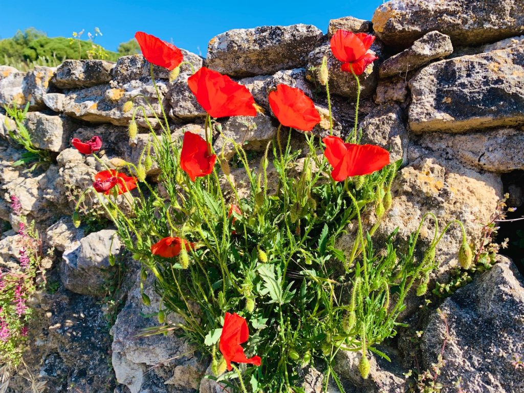 Poppies in Lourmarin, Provence