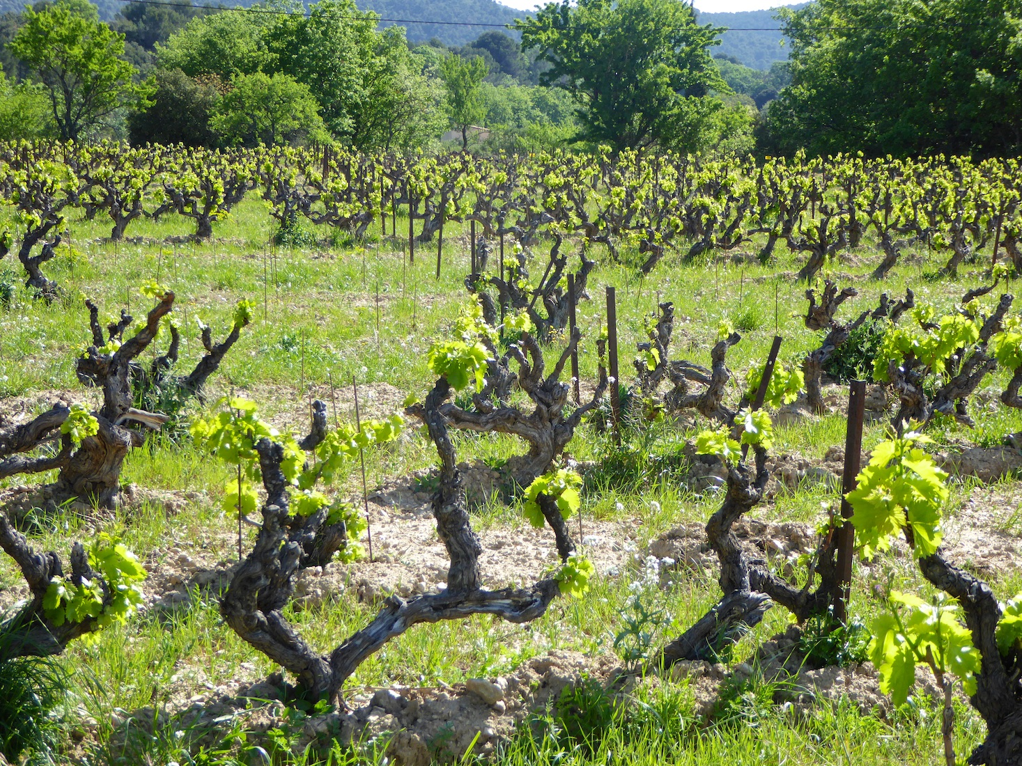 Springtime vines blooming in Lourmarin, Luberon, Provence
