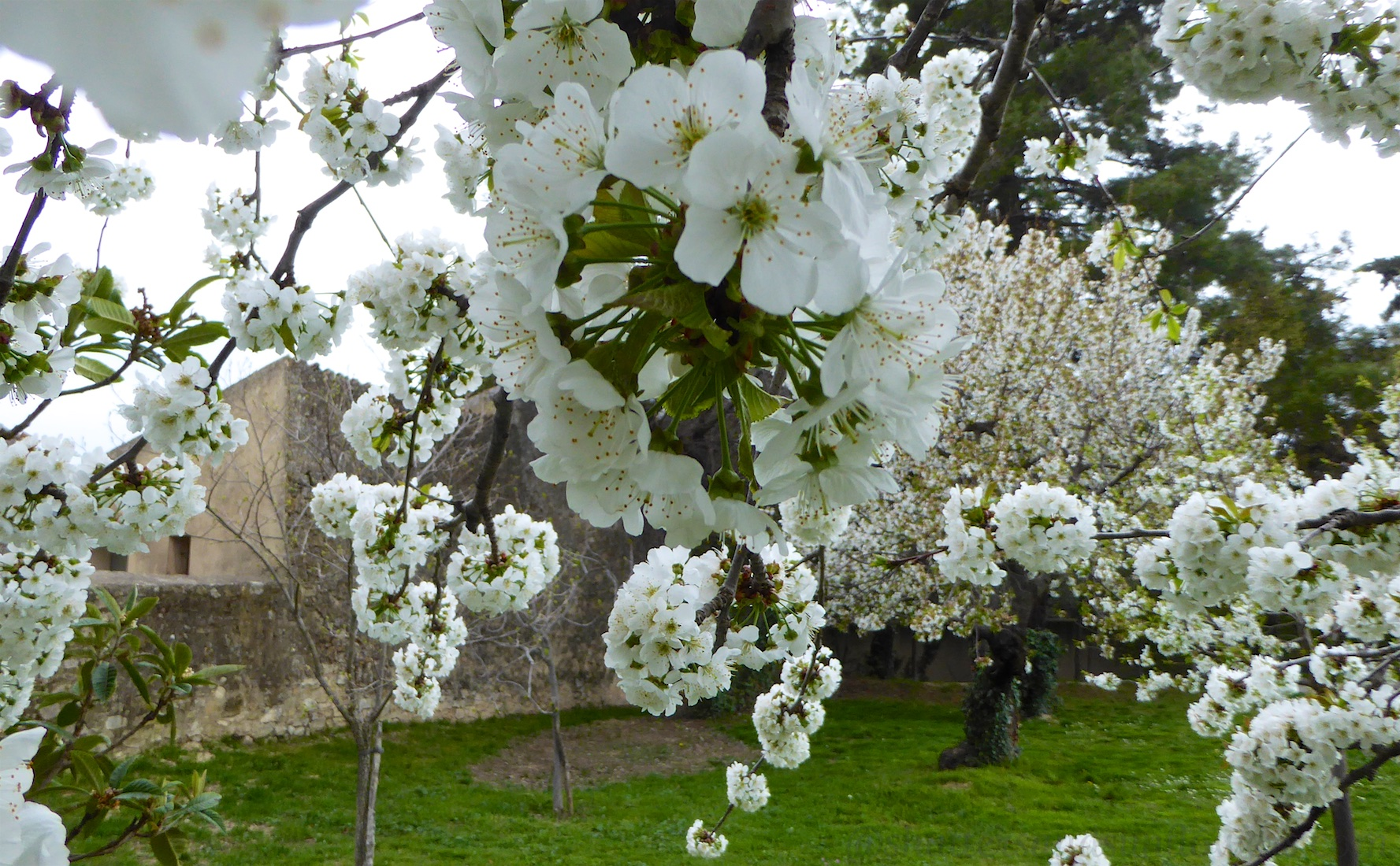 Spting blossoms in Lourmarin, Luberon, Provence